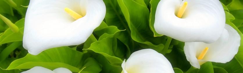witamy na stronie Kwiaty i Ogród - Calla